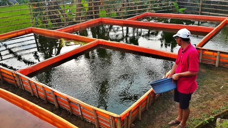 tips budidaya lele sangkuriang bagi pemula di kolam terpal