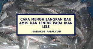 Cara Menghilangkan Bau Amis dan Lendir Pada Ikan Lele