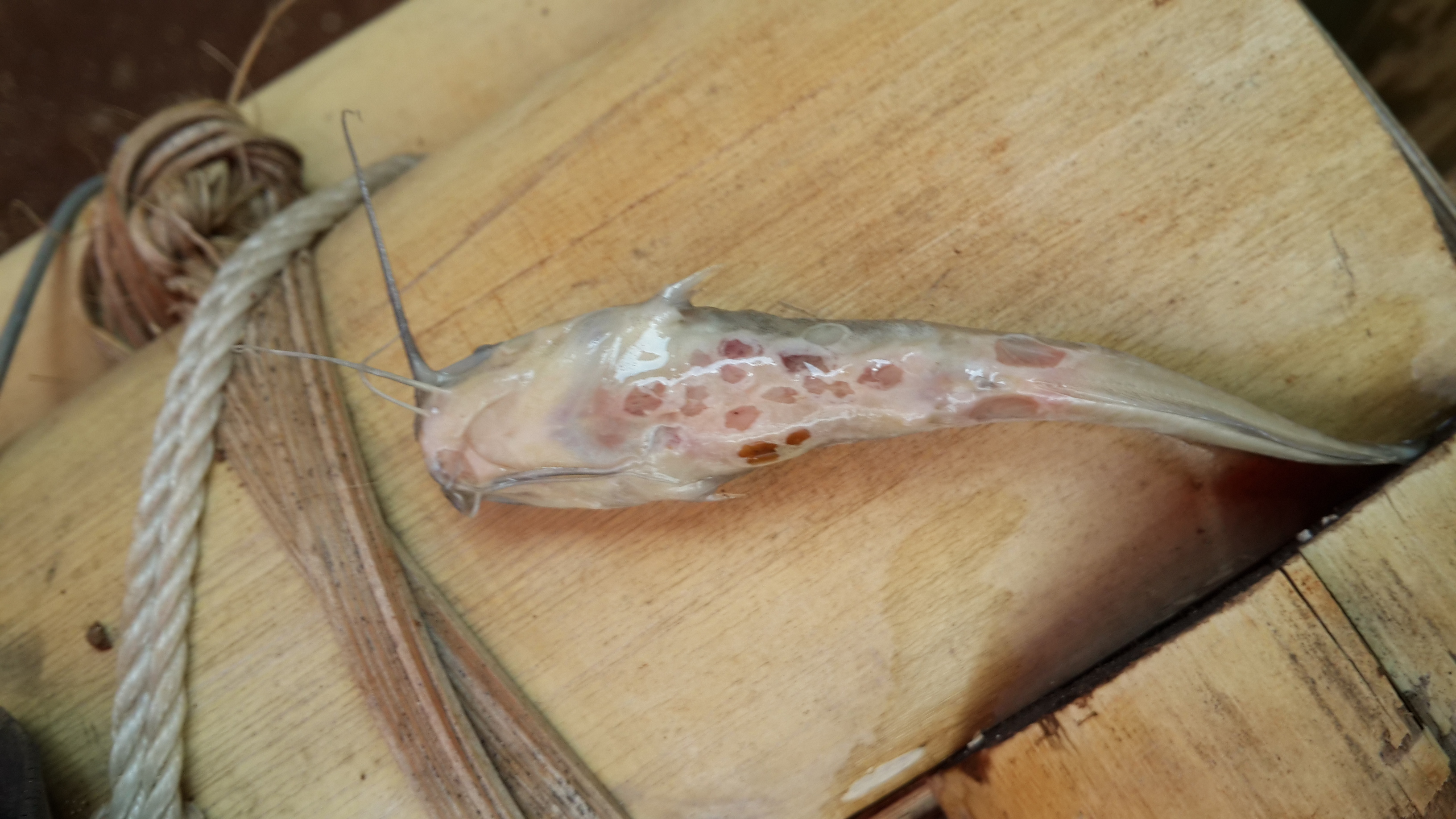 Mengatasi Jamur Pada Lele Sangkuriang