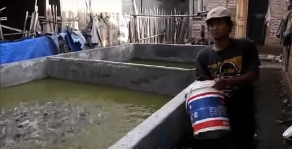 Video Rahasia Sukses Ternak Lele Padat Tebar Sistem Water Green