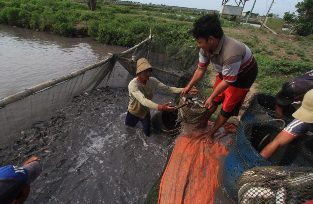 Perkembangan Budidaya Ikan Lele di Indonesia