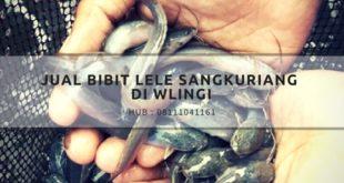Jual bibit lele sangkuriang di Wlingi