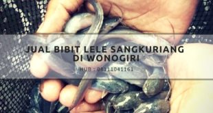 Jual bibit lele sangkuriang di Wonogiri