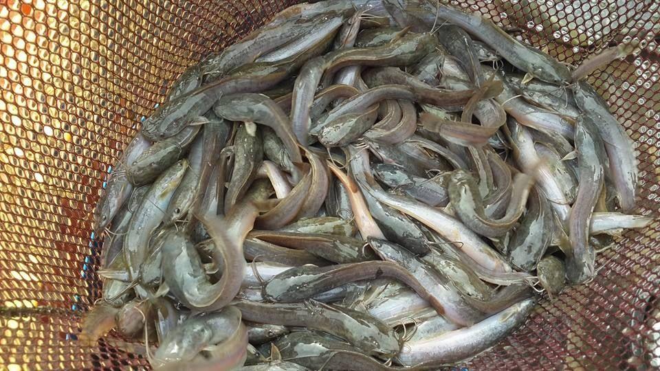 Langkah Langkah Pembesaran Ikan Lele