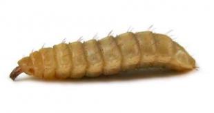 Maggot Sebagai Pakan Lele