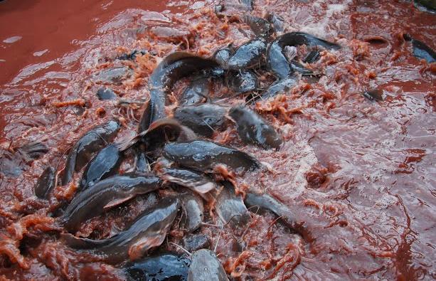 Cara Budidaya Lele Red Water System