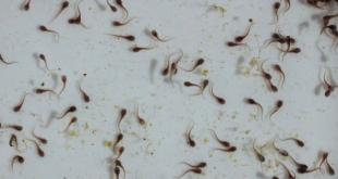 Cara Merawat Larva Lele Yang Baru Menetas