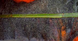 cara penetasan ikan lele