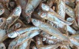 Cara Membuat Pakan Lele Dari Ikan Rucah