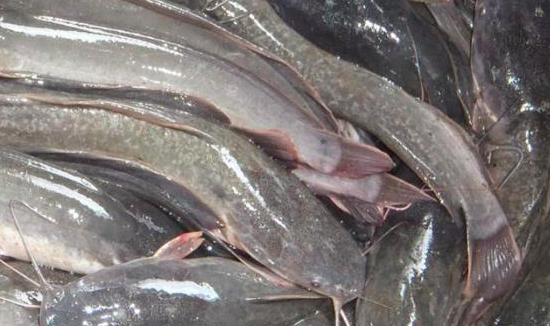 Sistem Pernapasan Pada Ikan Lele