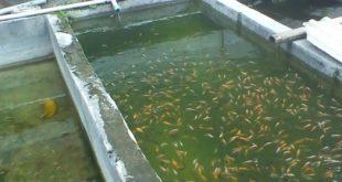 Budidaya Ikan Sistem Polikultur