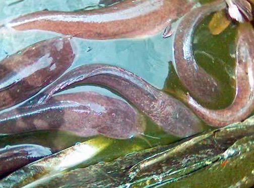 pemijahan ikan lele intensif