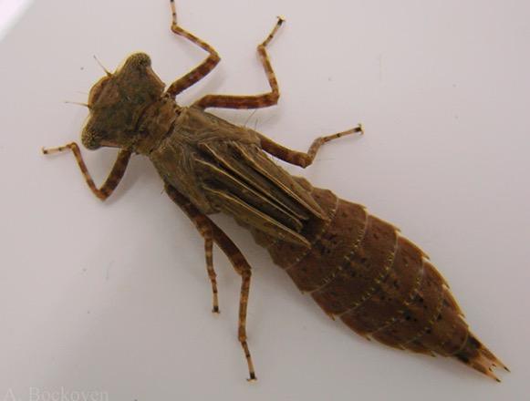 hama larva capung