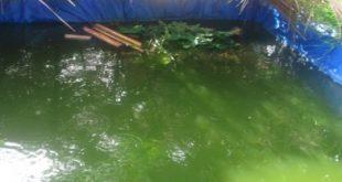 penyebab menurunnya kualitas air kolam lele