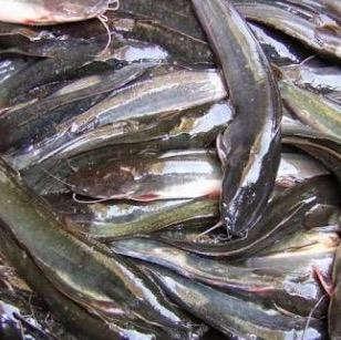 cara mengukur pertumbuhan ikan budidaya