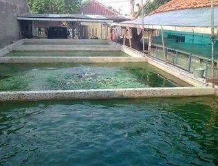 cara mengatasi masalah air kolam lele