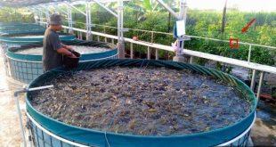 Ternak Lele. Aktivitas sampingan di lahan sempit