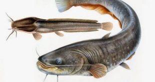 Gambar Ikan Lele Terlengkap