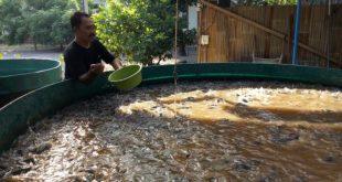 Budidaya Ikan Lele. Fakta & Realita