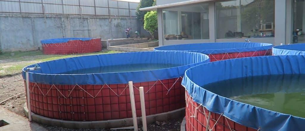 manajemen air kolam terpal lele